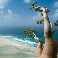 L'étrange île de Socotra