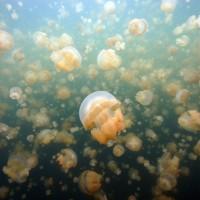 Jellyfish Lake : lac magnifique et unique en son genre, avec un grand nombre de méduses.