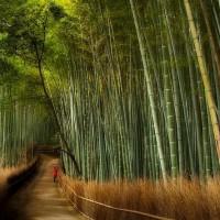 Baladez-vous dans une forêt de bambou au Japon